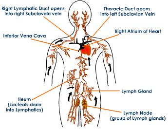 lymphatic_system_drainage_routes.jpeg